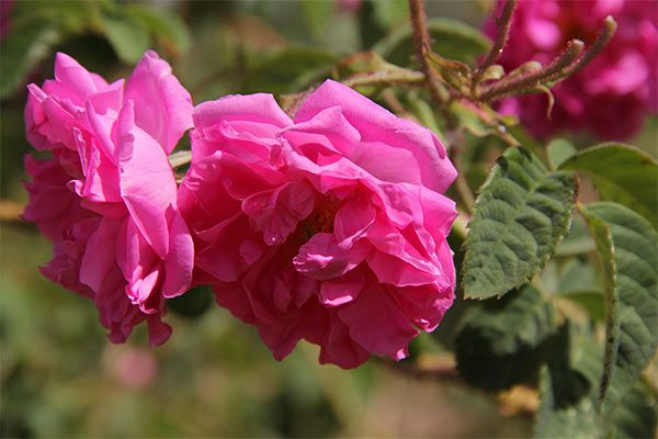 Rose Flower Essence Our Rose Flower Essence Quiets An Overactive Mind And Connects Us To Our Essential Nature Boosti Flower Essences Healing Flowers Flowers
