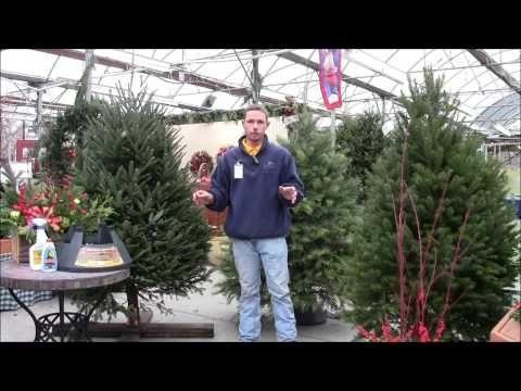 Get advice on Choosing A Fresh Christmas Tree with Stauffers expert