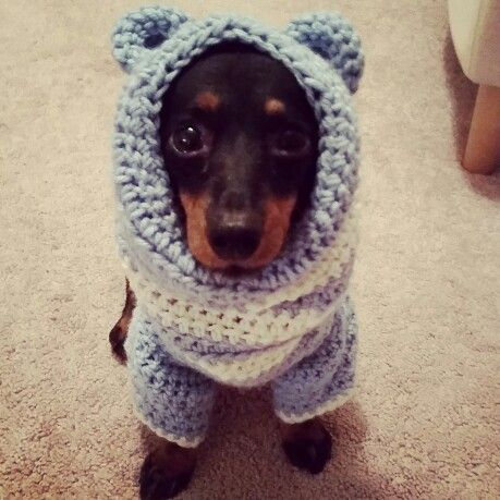 Simple Sweater Pattern For Mini Dachshund Doxie Dachshund - 22 adorable animals wearing miniature sweaters