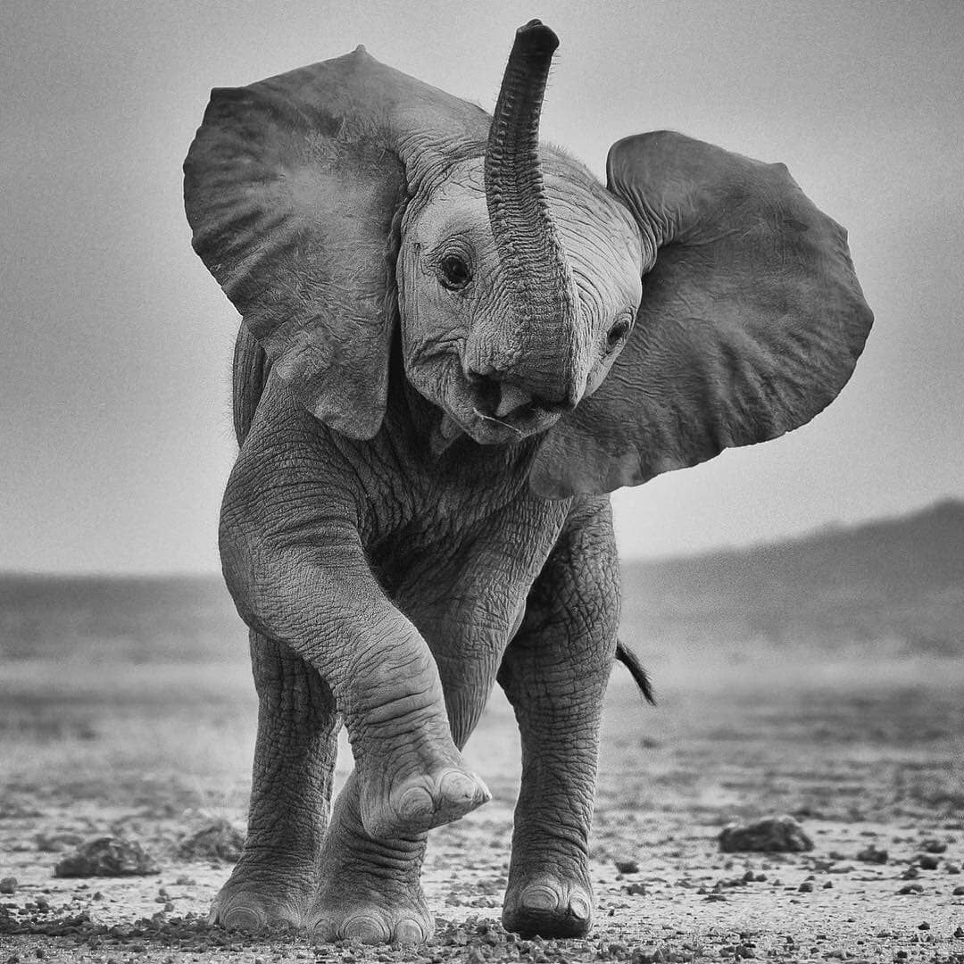 White and black baby elephant photography