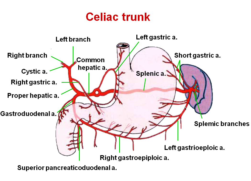 Celiac Trunk Branches Diagram Blood System Pinterest Celiac