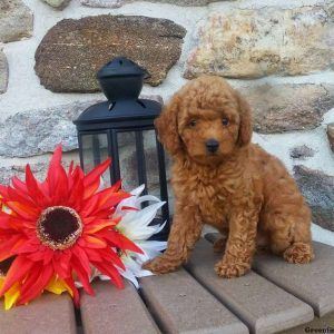 Toy Poodle Puppies Nj – Wow Blog
