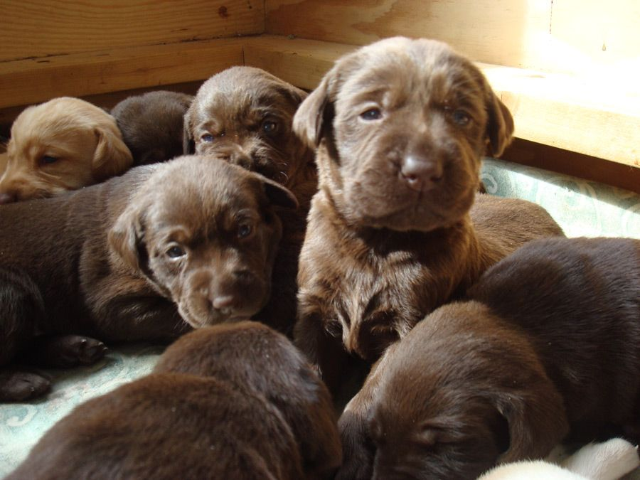 Baby Labs I Can Hardly Wait Until June Next Year When I Will Have