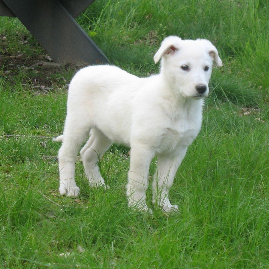My Dexter Long Hair German Shepherd At 9 Weeks Old German