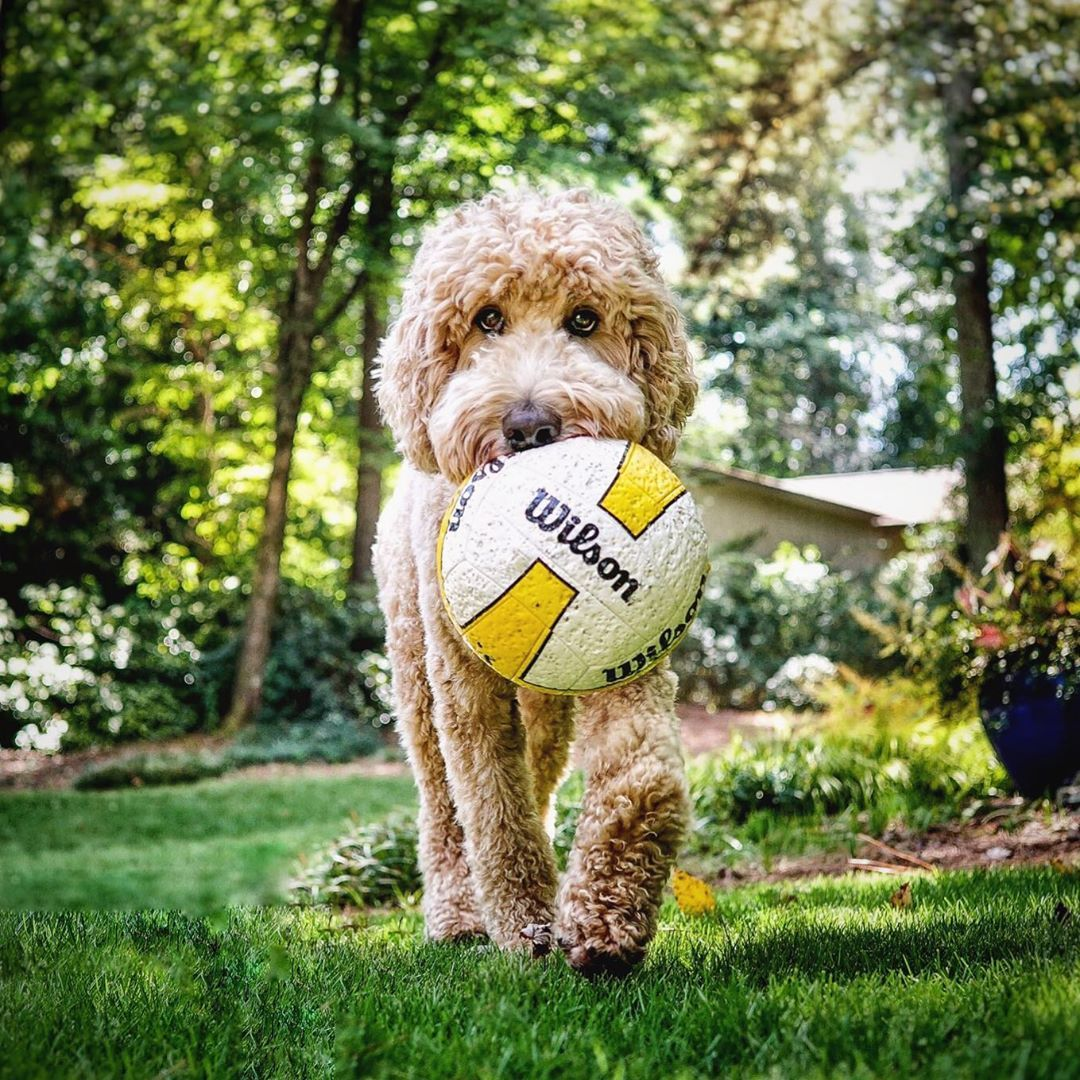 Ndythegoldendoodle On Instagram And Facebook Dogs Goldendoodle Puppies Cutedogs Indythegoldendoodle Dogsofinstagram Goldendoodle Puppy Goldendoodle Cute Dogs