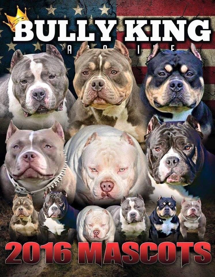 The 1 American Bully Breed Magazine News Articles Amp