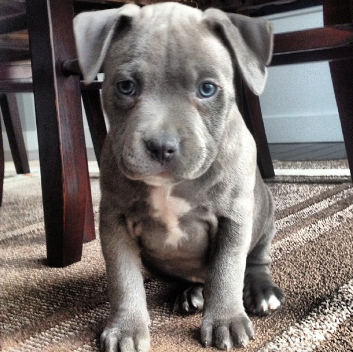 My Blue Nose Pitbull Puppy http//ift.tt/29oczkN Blue