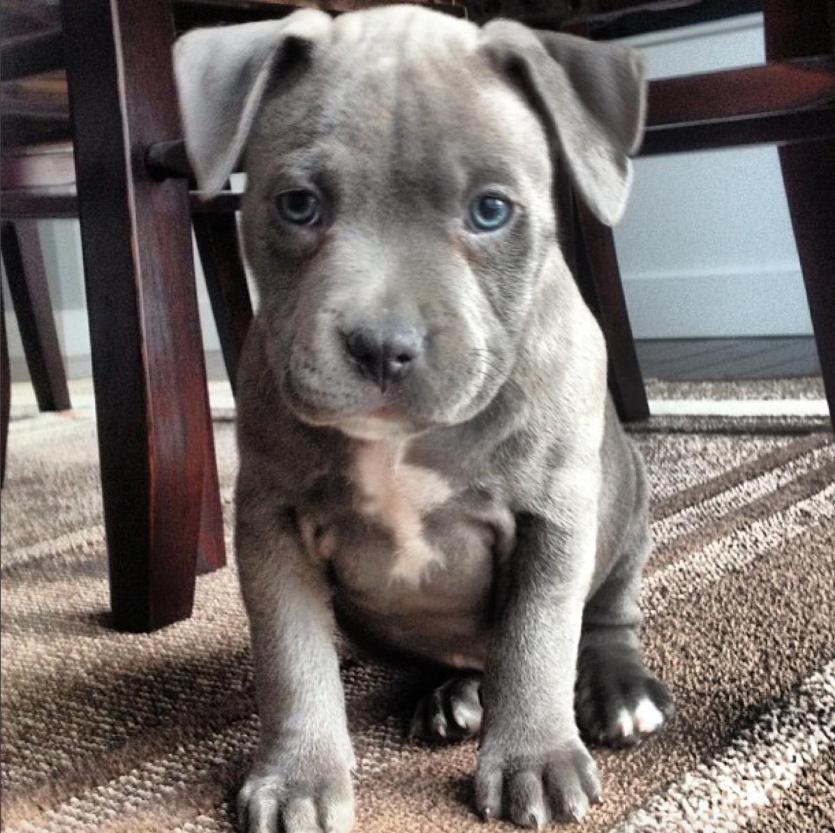My Blue Nose Pitbull Puppy http://ift.tt/29oczkN | pit ...