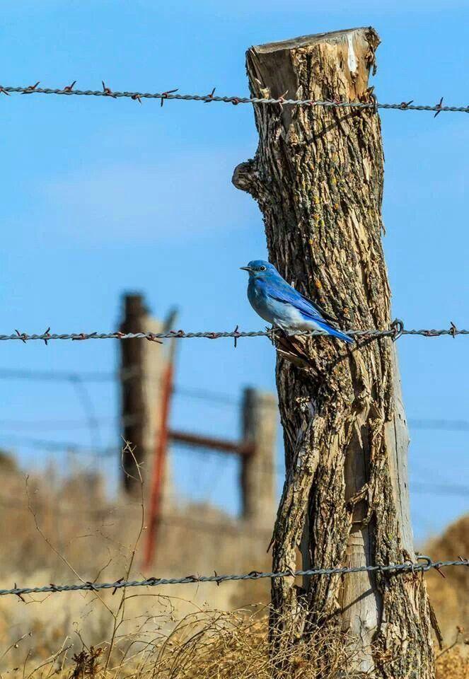 Pajarillo azul | vida salvaje | Pinterest | Bird, Fences and Country ...