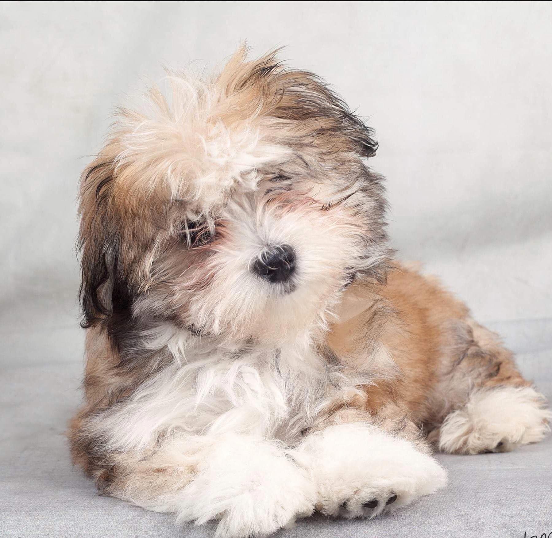 Havanese – Intelligent and Funny | Havanese, Puppies ...