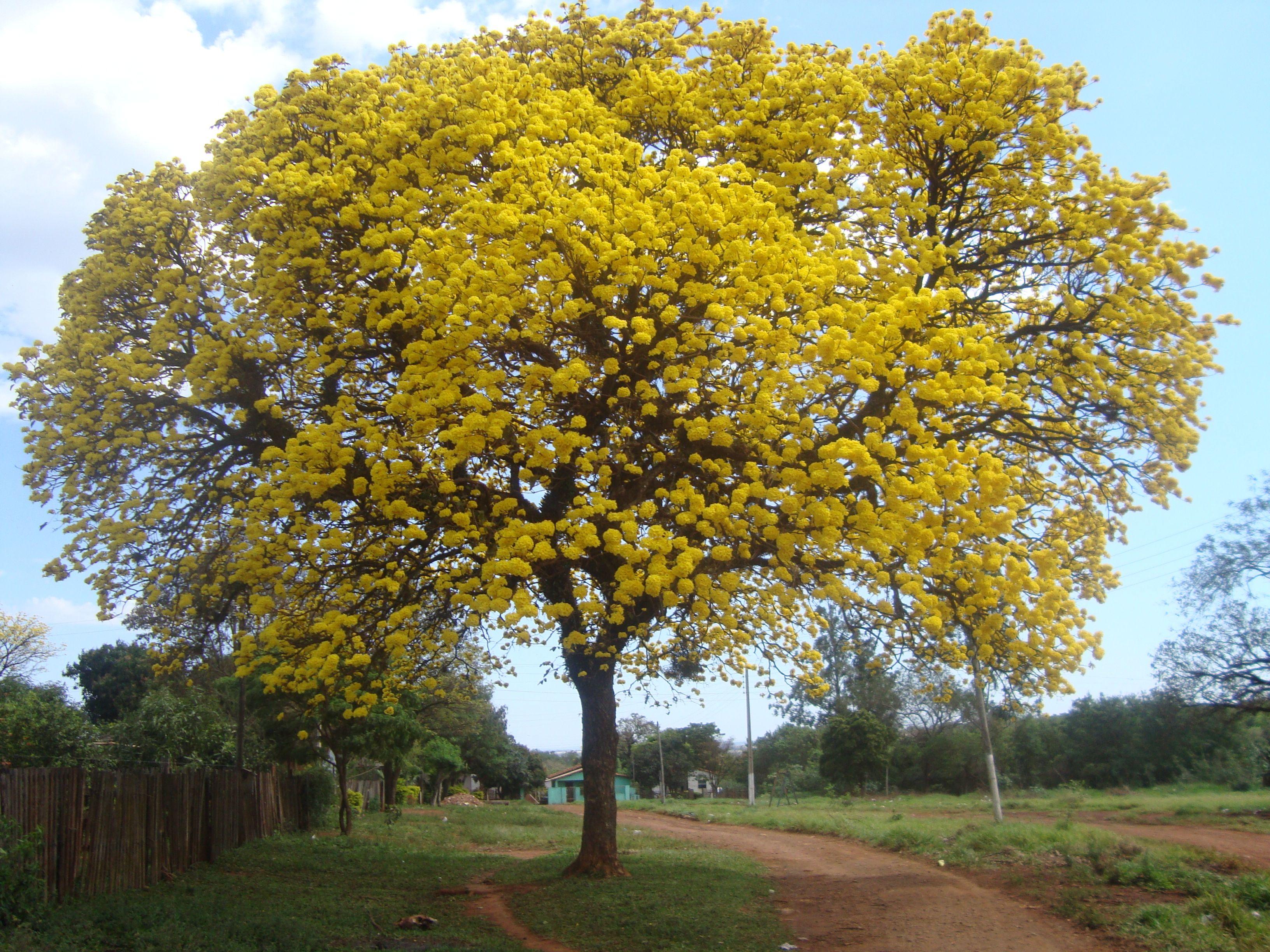 Lapacho amarillo buscar con google arboles y arbustos for Arboles perennes en argentina