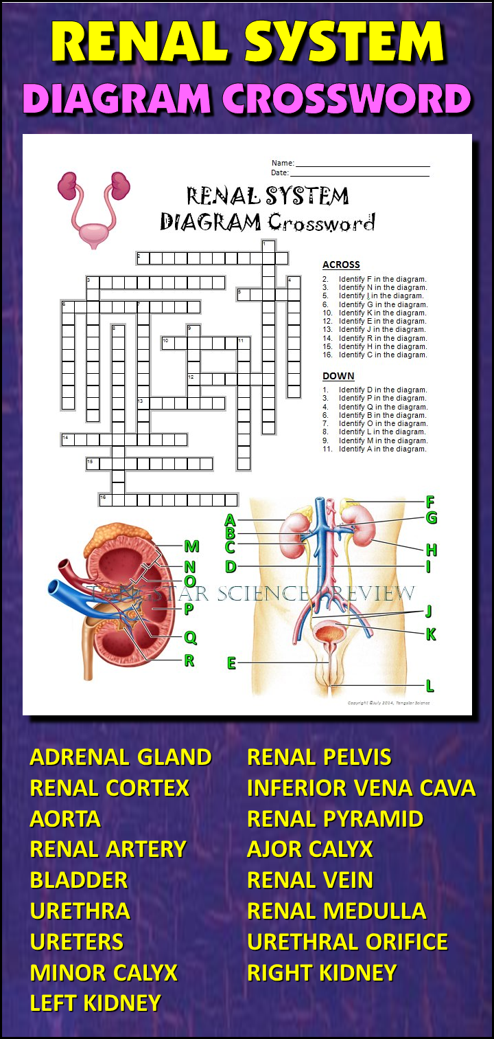 Urinary system crossword with diagram editable student learning help students learn and remember the parts of the renal system using this diagram crossword ccuart Choice Image