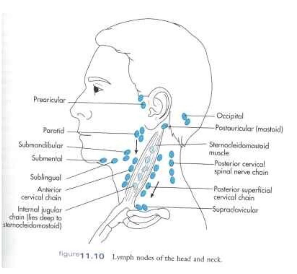 Contemporary Anatomy Of Lymph Nodes In Neck Festooning - Human ...