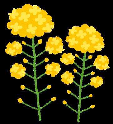 菜の花のイラスト かわいいフリー素材集 いらすとや 菜の花