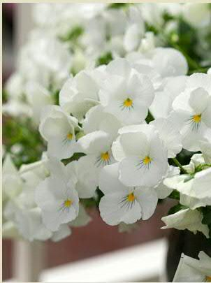 Welcome To Annual Flowers Pansies White Flowers