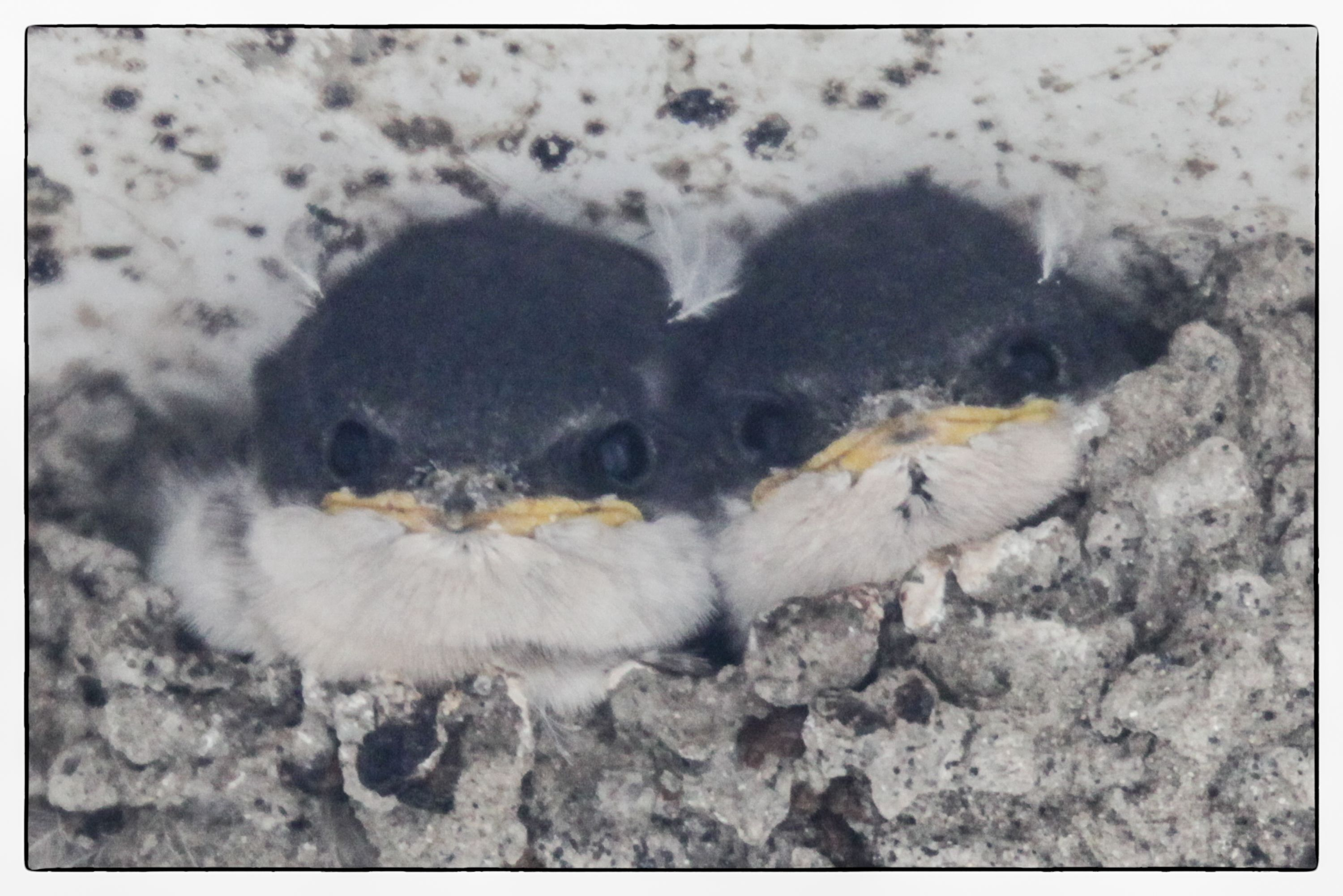A pair of fearless housemartin babies staring me out this morning   at close range!