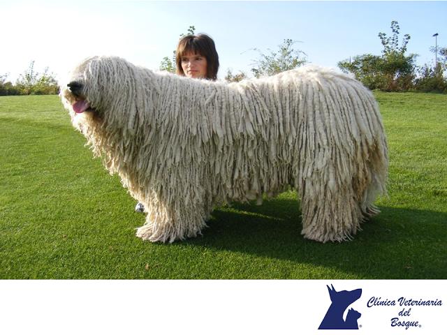 En Clínica Veterinaria Del Bosque Te Hablamos Sobre Los Cuidados Del Pelo De La Raza Komondor Los Perros Más Caros Perros Razas De Perros Miniatura