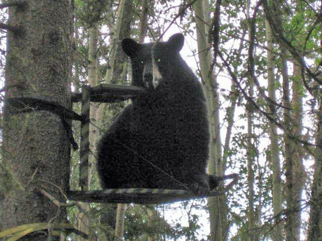 Whoops Bear Got To The Tree Stand Before Me Tree Stand