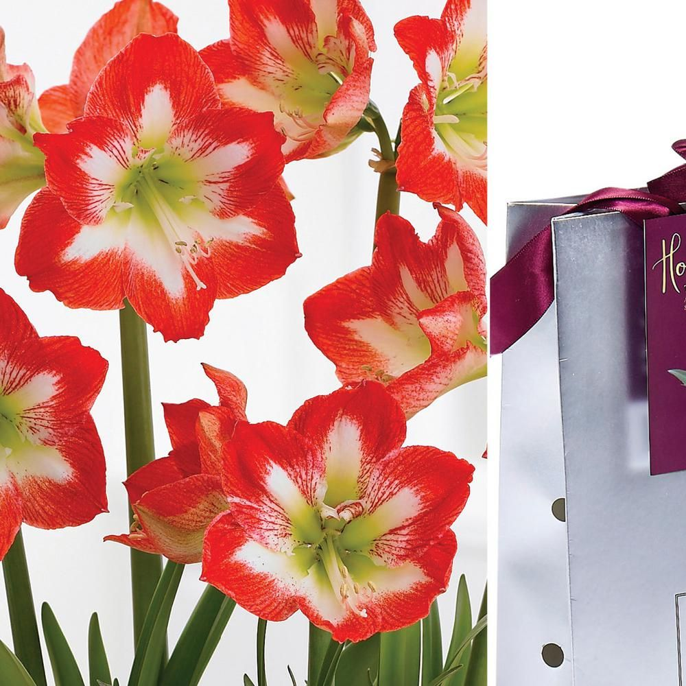 Van Zyverden Red And White Amaryllis Stargazer Bulb In Silver Gift Bag Amaryllis Bulbs Red Flowers Colorful Flowers