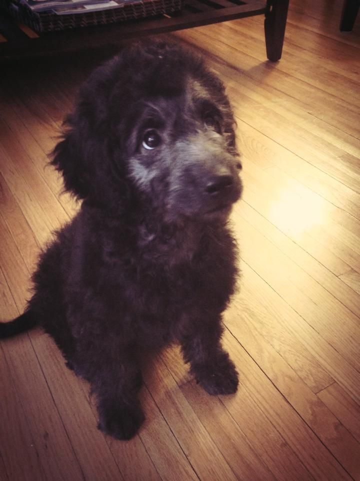 Black Goldendoodle Puppy From River Valley Doodles This Is Simon
