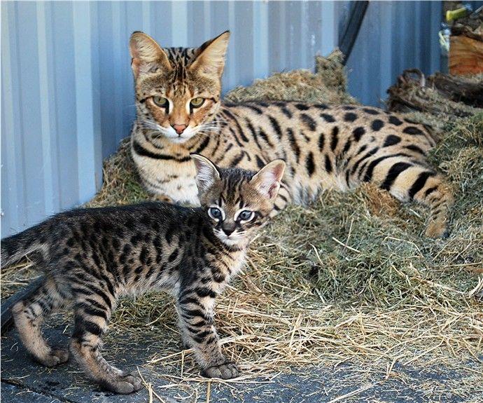 Samson And His Mama Cat Feline Savannah Kitten Cute Animals