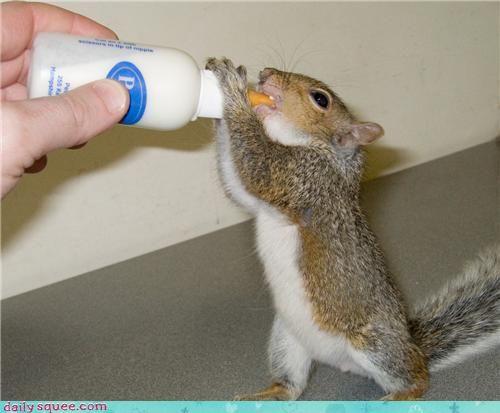Baby Squirrel S Milk Noms Cute Baby Animals Animals Baby Squirrel