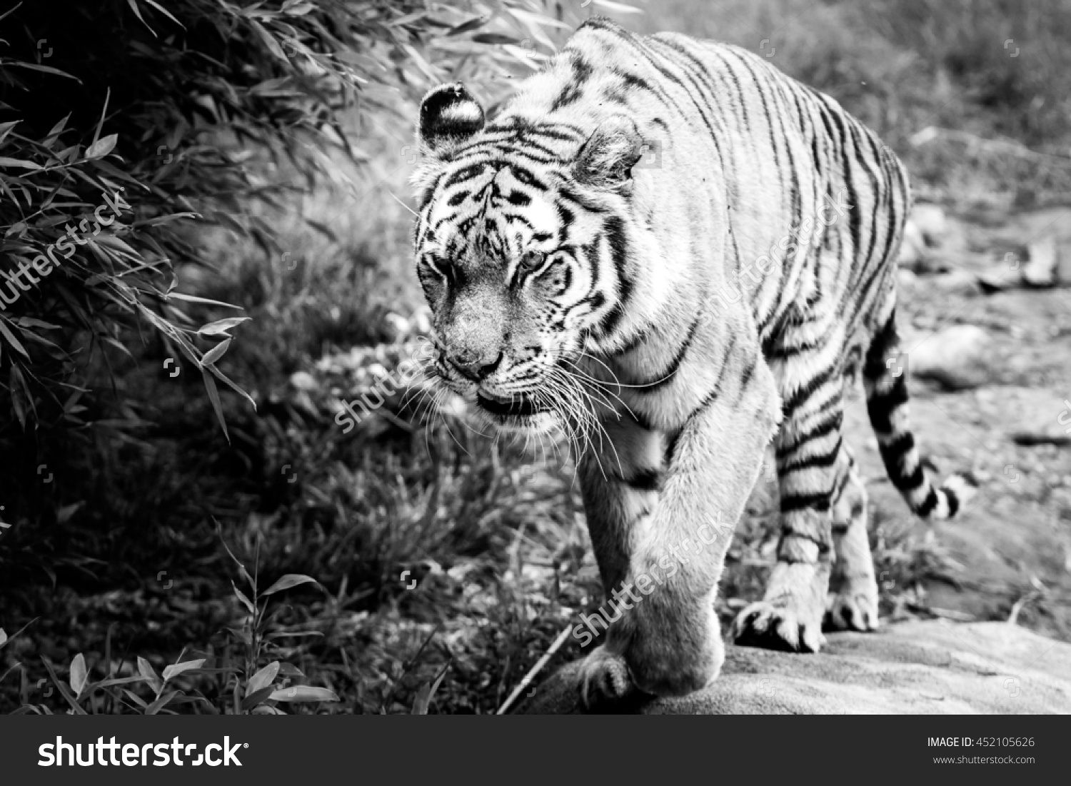 Sneaky Tiger - Black And White Stock Photo 452105626 : Shutterstock