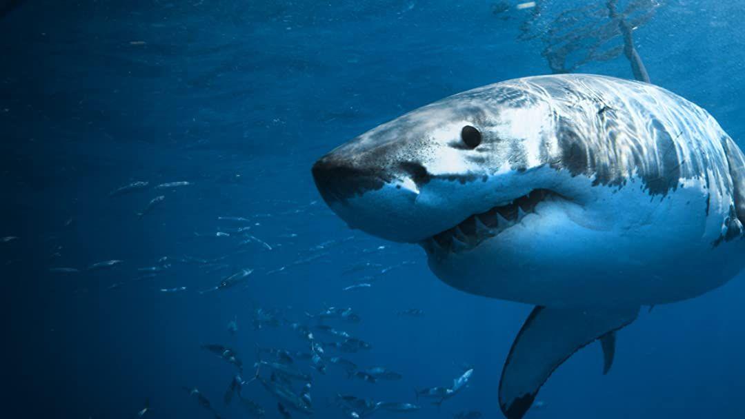 27 Kumpulan Berbagai Gambar Ikan Hiu   Worldofghibli.id