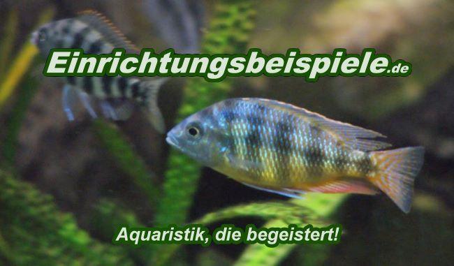 Hol dir Infos und Anregungen zum Aquarium einrichten anhand von 8350 Einrichtungsbeispielen und 777 Artikeln. Hier bleibt keine Frage zur Aquaristik offen.