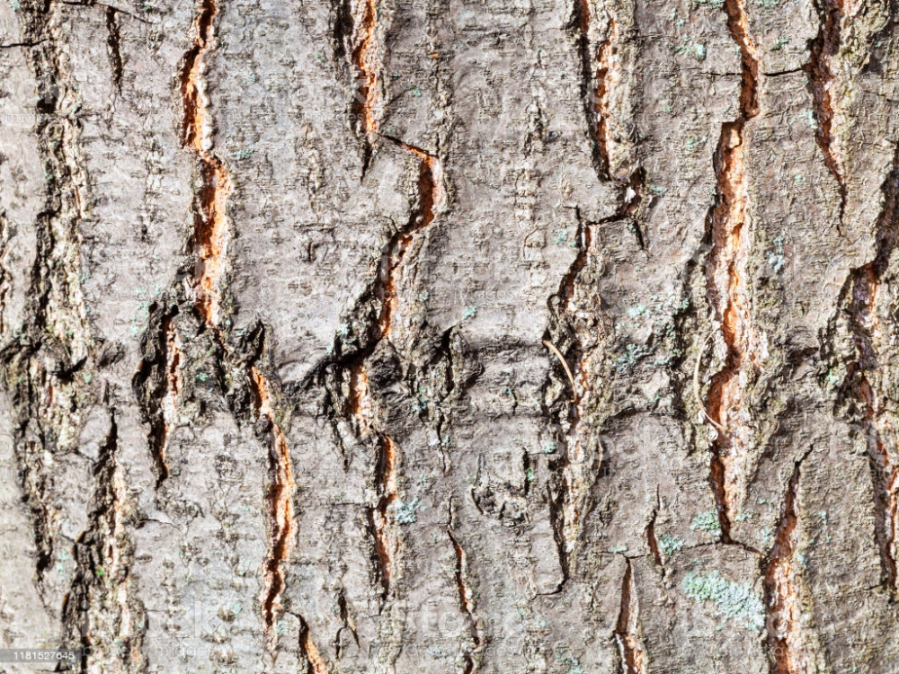Natural Texture Textured Bark On Trunk Of Red Oak Tree Close Up Red Oak Tree Oak Tree Bark Red Oak