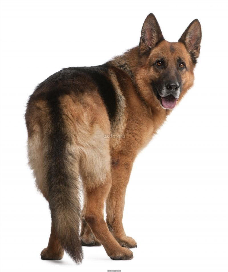 German Shepherd 5 Years Old In Front Of White Background Poster