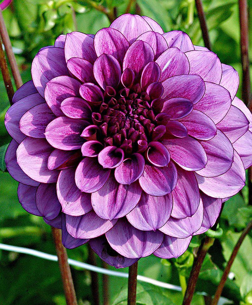Blue Bell Dahlia Bulb Flowers Purple Garden Beautiful Flowers