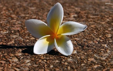 White tropical plumeria frangipani flower sits alone in Hawaii HD Wallpapers, Wallpapers For Desktop, Android, Iphone,nature wallpapers,anime wallpapers,car wallpapers