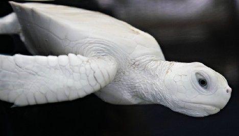 albino sea turtle