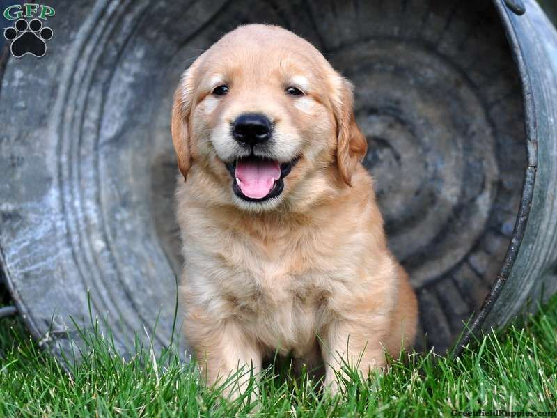 Chumba golden retriever puppy for sale in gap pa