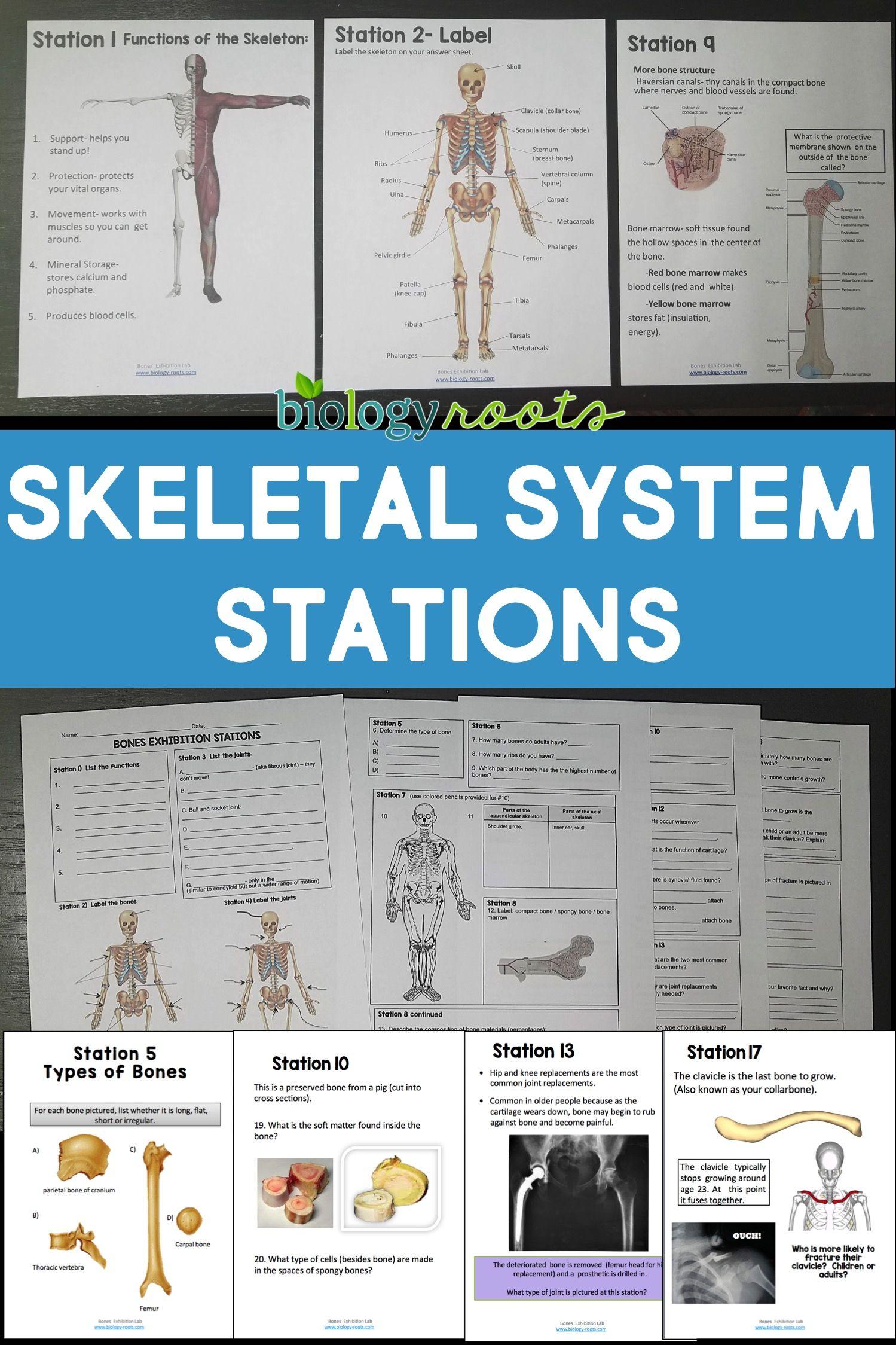 Skeletal System Exhibition Lab Stations