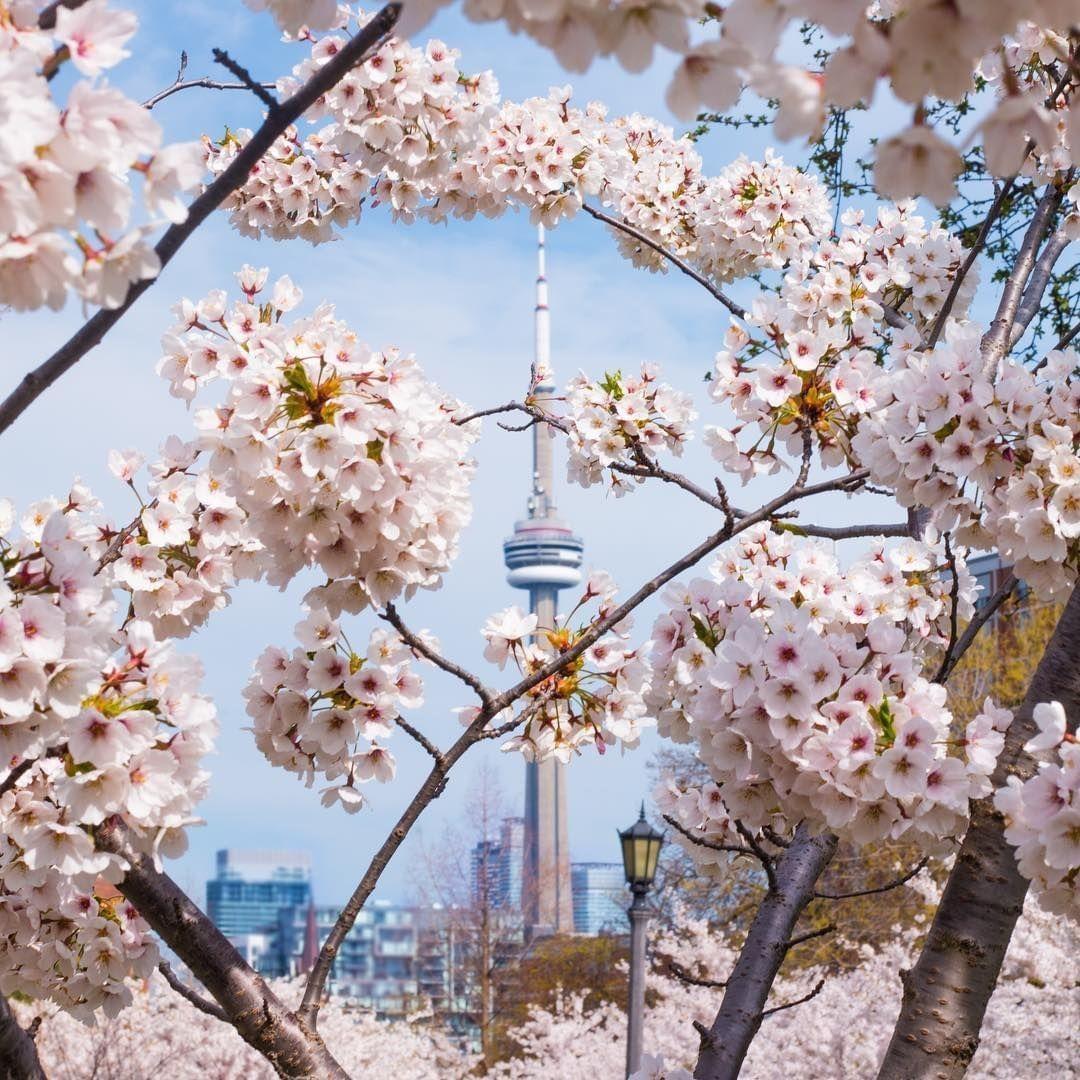Sakura Dreams Cherry Blossoms At The University Of Toronto Toronto Gardens Ornamental Cherry Small Trees For Garden