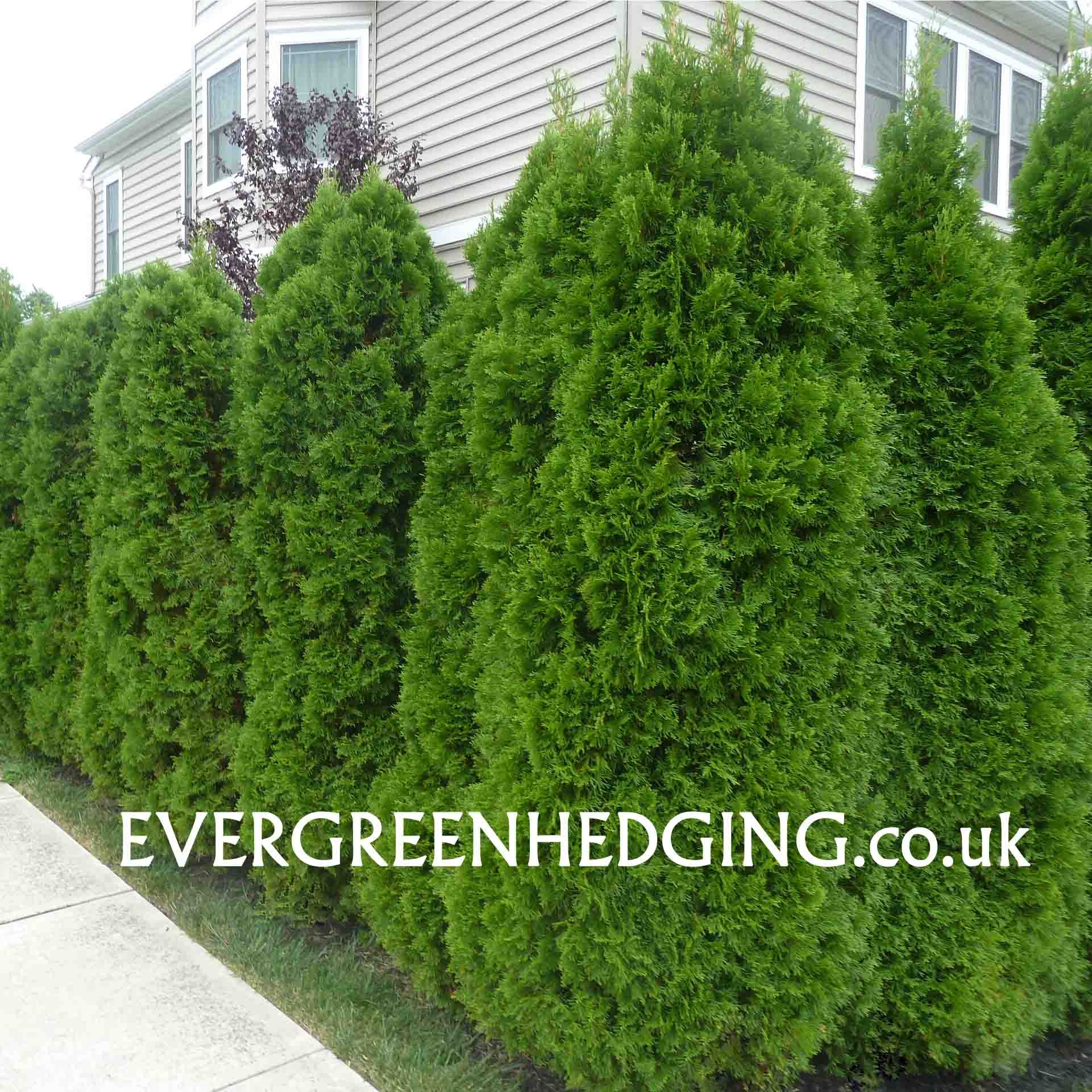 thuja emerald smaragd hedge landscaping ideas pinterest
