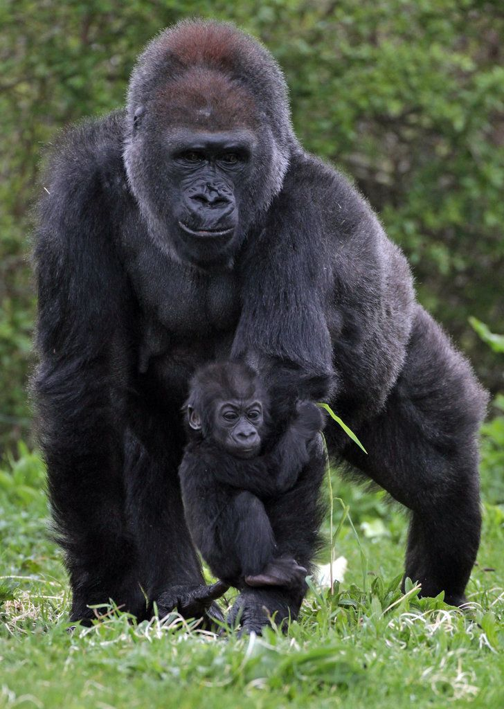 The Ape-ple of Mom's Eye Tries Out His Tootsies | GORILLA ... | 728 x 1024 jpeg 129kB