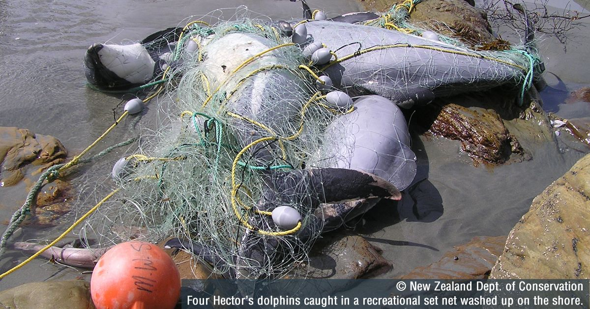 Save New Zealand dolphins from extinction Whale and