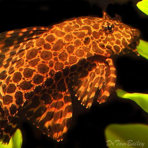 Pin On Catfish Otos Plecos