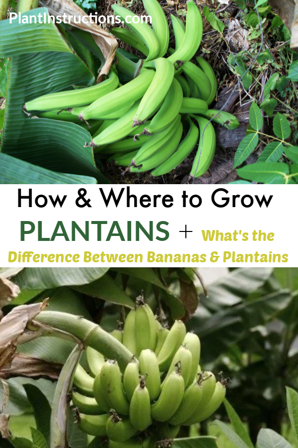How To Grow Plantains Plantain Plant Plantains Organic Vegetable Garden
