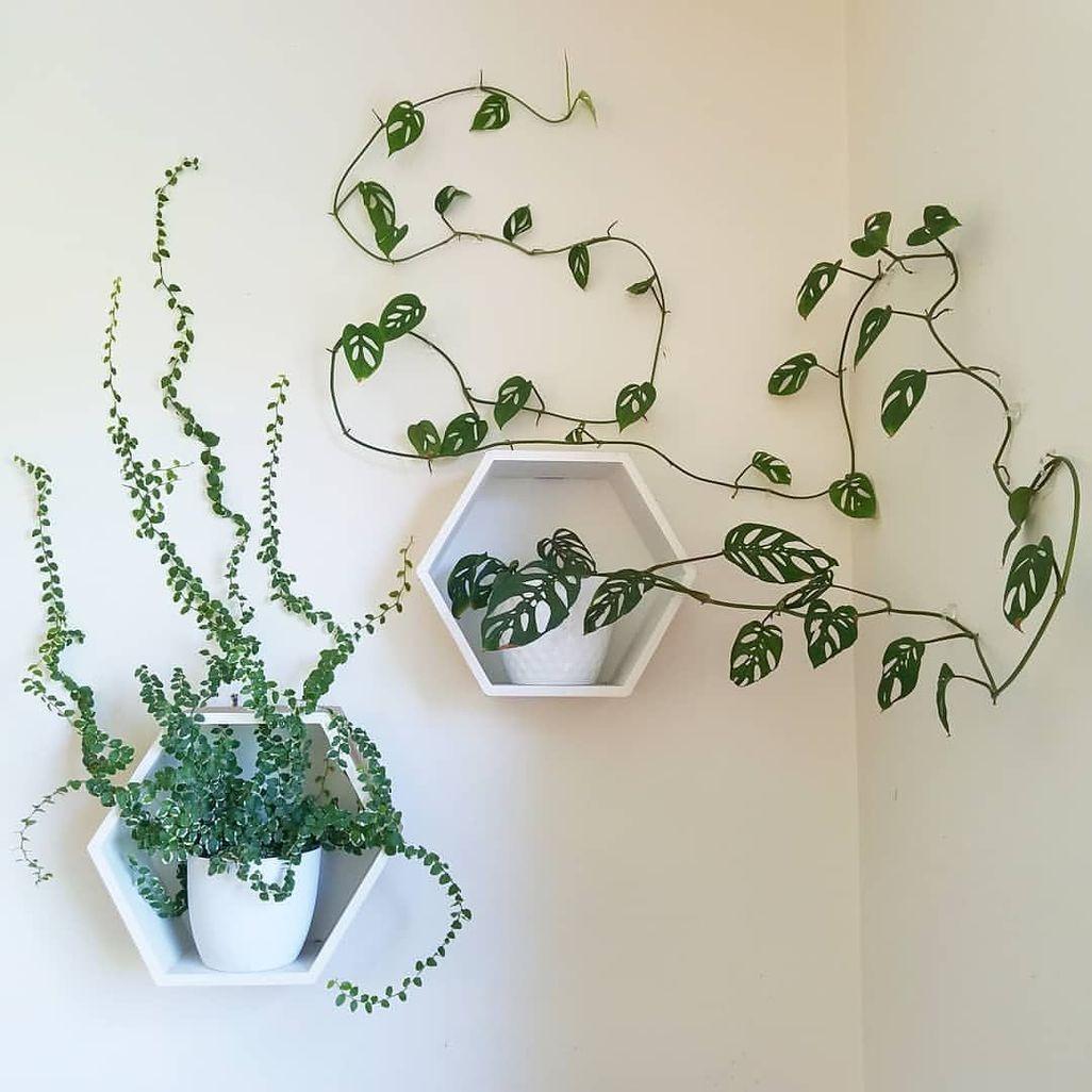 Piante Rampicanti Da Interno pin di emma celegato su arredamento | arredare con le piante