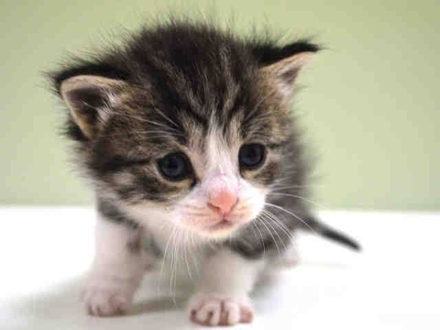 Safe To Be Destroyed 11 21 14 Adorable 3 Week Old Kitten