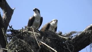 Osprey Nesting Video - March 10, 2015