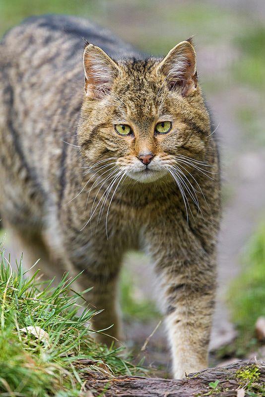 Walking European wildcat (Felis silvestris silvestris)