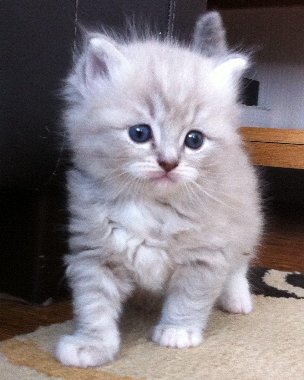 Ragamuffin It S Soooo Fluffy Kittens Cutest Ragamuffin Cat Cute Cats