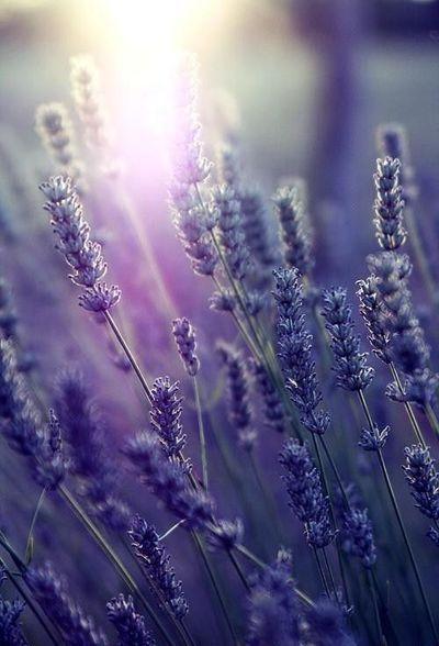 Early Morning Lavender Purple Nature Lovely Lavender Lavender Flowers
