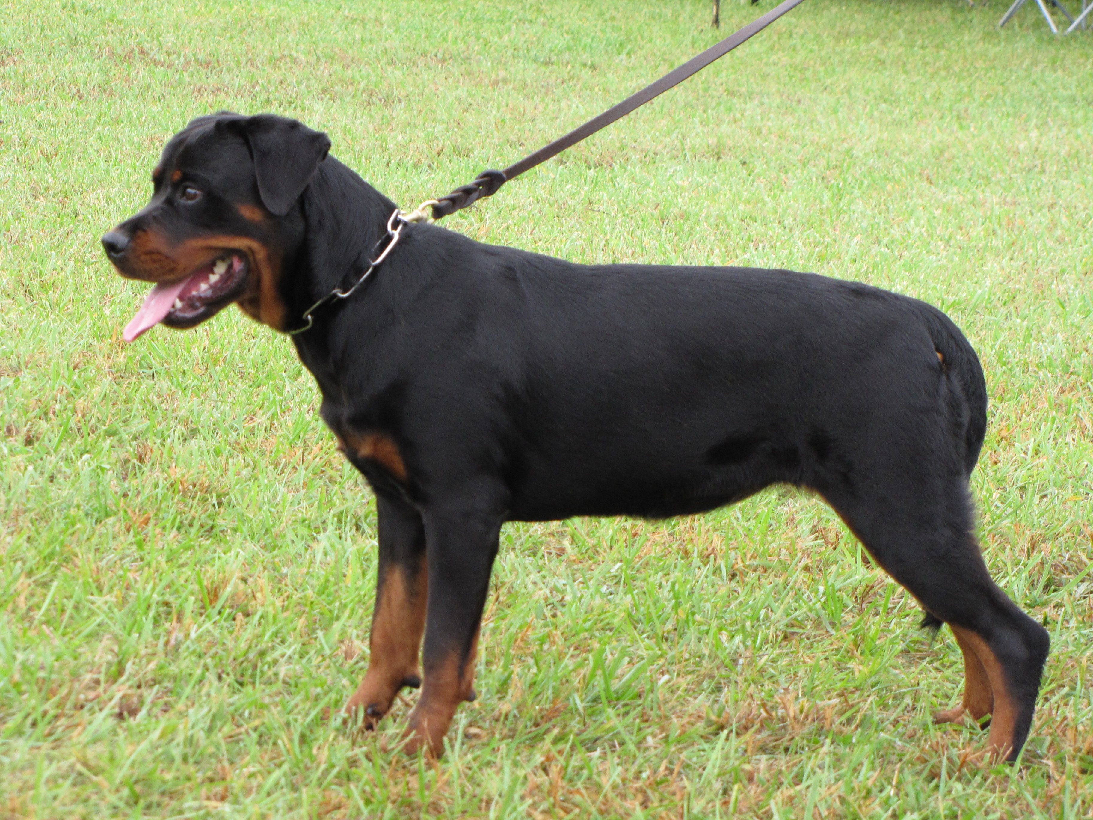 Colorful Pictures Of Rotties Rottweiler History Fci Standard Akc