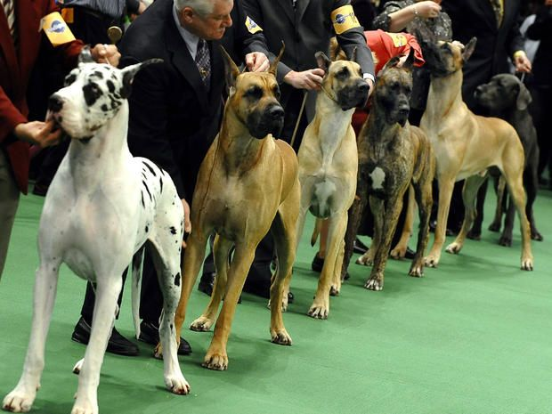 Westminster Dog Show 2011 Best In Show To Be Announced Tonight